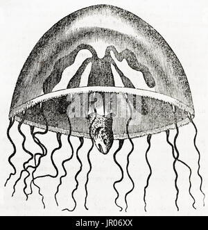 Old illustration of Jellyfish (Medusa campanulata). By unidentified author, published on Magasin Pittoresque, Paris, - Stock Photo