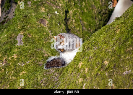 Squirrel sitting on a tree washing his face & whiskers