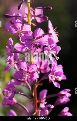 Close-Up Of Fireweed (Chamaenerion Angustifolium); Alaska, United States Of America - Stock Photo