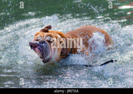 One year old English Bulldog playing in a city park, running through tall grass and flowers, and swimming in the - Stock Photo