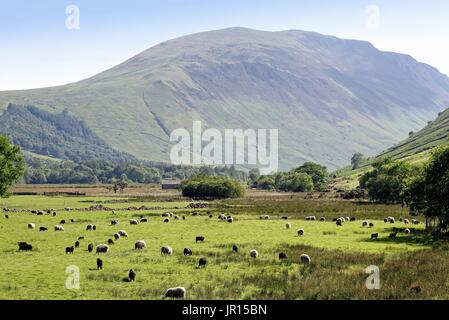 Wasdale Head with Herdwick sheep in field  Wasdale Lake District Cumbria UK - Stock Photo