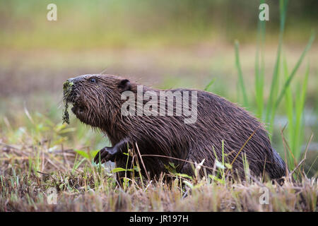 Beaver (Castor fiber), walking on a river bank, Bavaria, Germany - Stock Photo