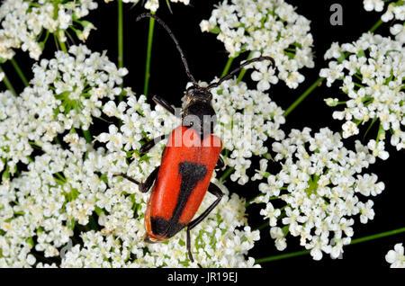 Longhorn Beetle (Brachyleptura cordigera). Habitat: plains and hillsides on umbelliferous. Pyrenees, France - Stock Photo