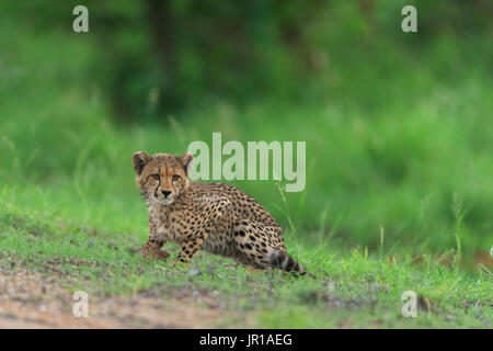 Cheetah (Acinonyx jubatus), Kruger, South Africa - Stock Photo