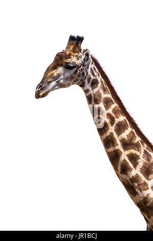 Portrait of Girafe (Giraffa camelopardalis) on white background, Kruger national park, South Africa - Stock Photo