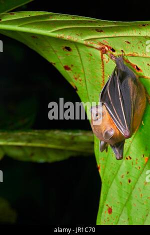 Lesser short-nosed fruit bat, megabat (Cynopterus brachyotis), Sarawak - Kubah national park, Malaysia - Stock Photo