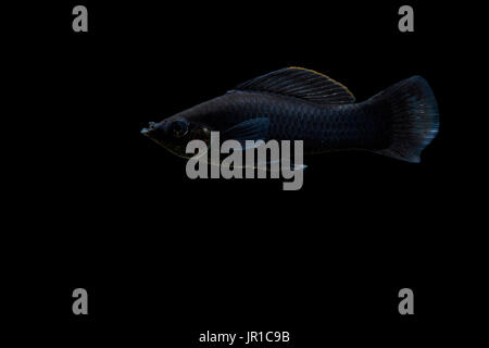 Molly, short-finned molly or common molly 'black' (Poecilia sphenops) on black background, native from central america - Stock Photo