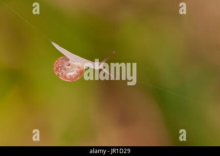 Grove Snail (Cepaea nemoralis) on a spider's thread - Stock Photo