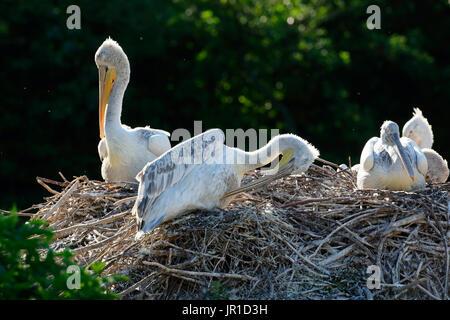 Dalmatian Pelican (Pelecanus crispus) at nest - Stock Photo