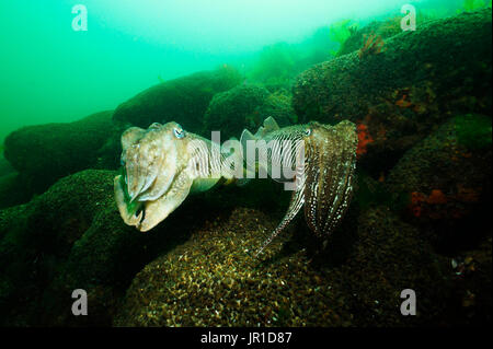 European common cuttlefish (Sepia officinalis) mating on bottom, Hossegor, France, Atlantic Ocean - Stock Photo