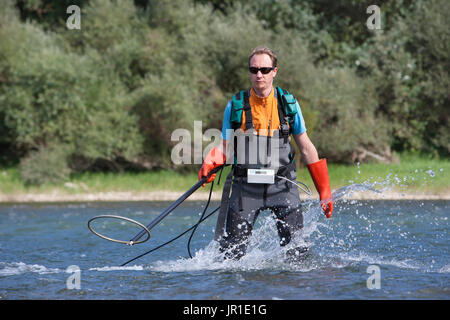 Atlantic salmon (Salmo salar) electric fishing on the Vieux-Rhin by the Saumon Rhin team, Search of the young fishes - Stock Photo