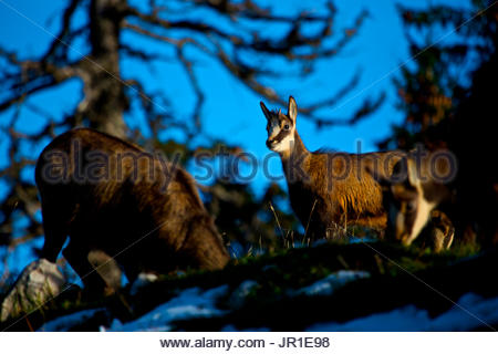 Young Chamois (Rupicapra rupicapra) observing the surroundings while the rest of the herd grazes peacefully at the - Stock Photo