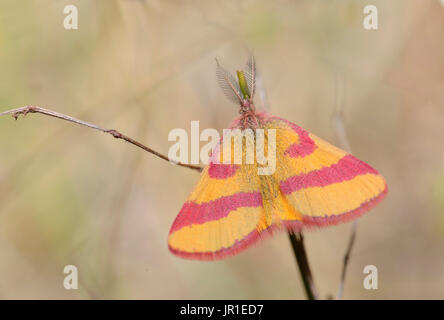 Purple-barred Yellow (Lythria cruentaria) male, Regional Natural Park of the Vosges du Nord, France - Stock Photo