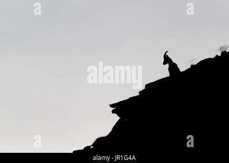 Alpine Ibex (Capra ibex) against the light on a ridge, in summer in Upper Valais, Switzerland - Stock Photo