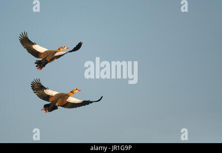 Egyptian geeses (Alopochen aegyptiacus) in flight, Sauer Delta Nature Reserve, Rhine Border, Munchhausen, Alsace, - Stock Photo