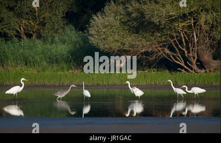 Collective fishing of the Great Egrets (Egretta alba), Nature reserve of the Delta of the Sauer, Border of the Rhine, - Stock Photo