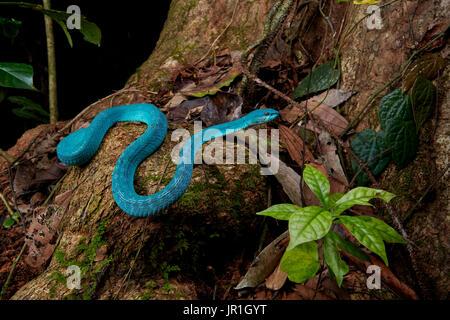 White-lipped island pit viper, Lesser Sunda pit viper, Sunda Island pit viper(Trimeresurus insularis) (Trimeresurus - Stock Photo