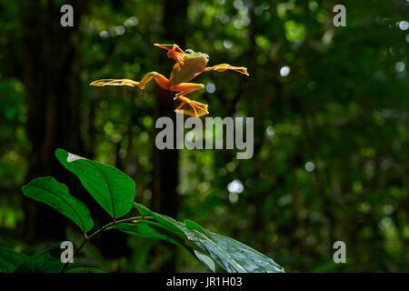 Wallace's flying frog, Abah River flying frog, moss frog (Rhacophorus nigropalmatus) jumping, Kualah Lumpur, Malaysia - Stock Photo