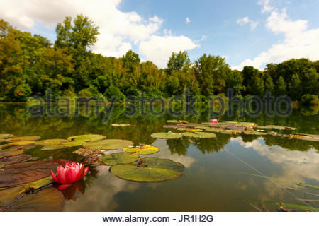 Pink water lily 'Fabiola' (Nymphaea hybrid) on a pond, in summer, in July, Picardy, France. Horticultural origin. - Stock Photo