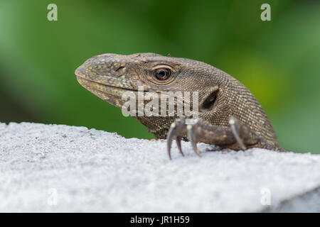 Portrait of Bengal monitor (Varanus bengalensis), Sri Lanka - Stock Photo