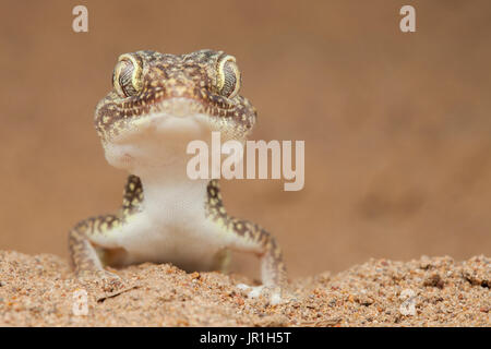 Portrait of Middle Eastern short-fingered gecko (Stenodactylus doriae), Dezfoul, Iran - Stock Photo