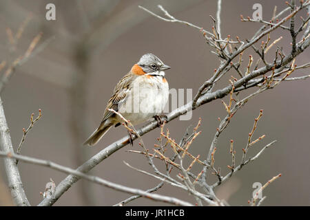 Rufous-collared Sparrow (Zonotrichia capensis) on a branch, Patagonia Argentina - Stock Photo