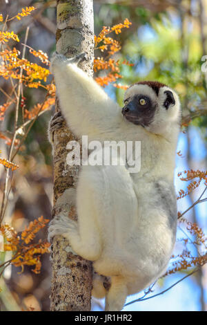Verreaux sifaka (Propithecus verreauxi) in the dry deciduous forest in Western Madagascar, Kirindy Forest Reserve, - Stock Photo