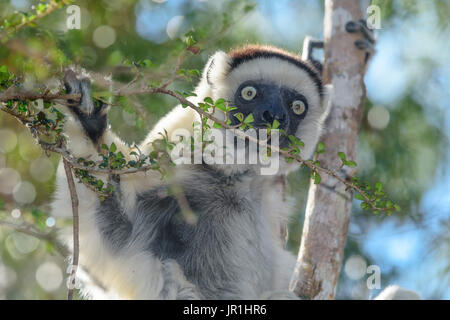 Verreaux sifaka (Propithecus verreauxi) eating in the dry deciduous forest in Western Madagascar, Kirindy Forest - Stock Photo