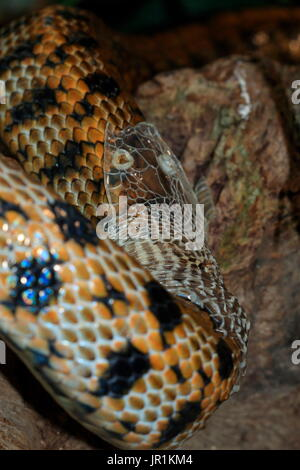 Taiwan Beauty Snake (Orthriophis taeniura friesei) moulting - Stock Photo