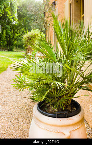 Fan Palm in a terracotta pot outside an old stone house in the South of France near Toulouse - Stock Photo
