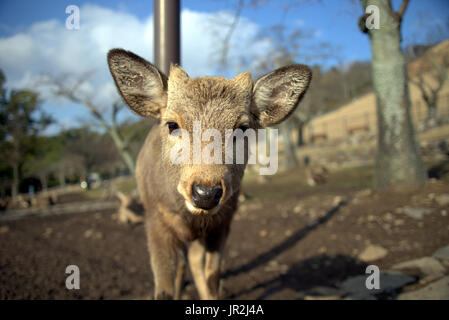 A curious deer in Nara investigates the camera.  Nara has many deer and are considered the messengers of the gods. - Stock Photo