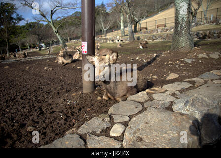A deer rests alongside the road in Nara.  Nara has many deer and are considered the messengers of the gods.  They - Stock Photo