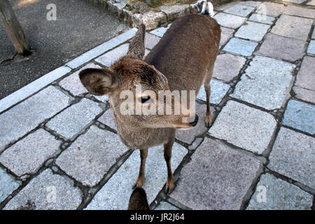 A deer walks along the path alongside the tourists in Nara.  Nara has many deer and are considered the messengers - Stock Photo