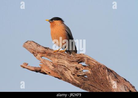 Brahminy Starling (Sturnia pagodarum) on a branch, India - Stock Photo