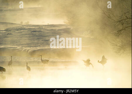 Japanese cranes (Grus japonensis) displaying in the mist early morning Hokkaido, Japan - Stock Photo