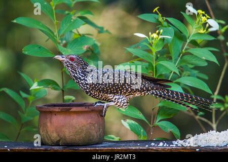 Asian koel (Eudynamys scolopaceus) on a pot, Minneriya national park, Sri Lanka - Stock Photo