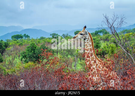 Giraffe (Giraffa camelopardalis) in savanna, Kruger National park, South Africa - Stock Photo
