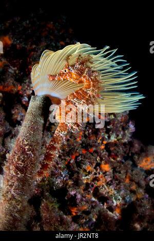 Long-snouted seahorse (Hippocampus guttulatus) in front of a Mediterranean fanworm (Spirographis spallanzani) - Stock Photo