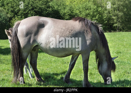 Wild horses in Neandertal. Tarpan is a Eurasian wild horse obtained by re-breeding. - Stock Photo