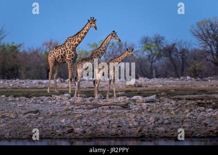 Giraffe (Giraffa camelopardalis) at the waterhole, Namibia, Etosha national park - Stock Photo