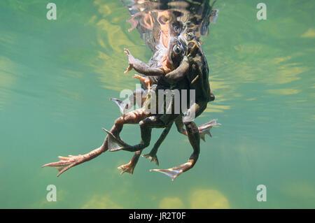 European frogs (Rana temporaria) in their aquatic environment, Lac du Jura, France - Stock Photo