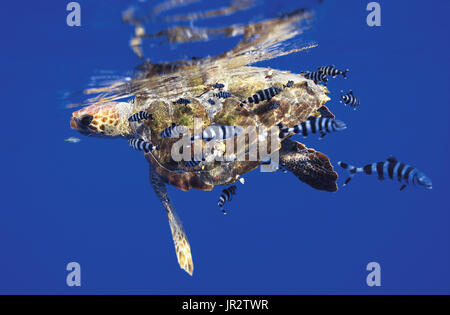 Loggerhead sea turtle (Caretta caretta) swimming under the surface of the ocean, accompanied by a pilot fish (Naucrates - Stock Photo