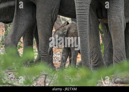 African elephant (Loxodonta africana) baby Elephant protect himself between two elephants? legs, South Africa - Stock Photo