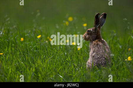 Brown Hare sitting in tall grass at spring - GB - Stock Photo