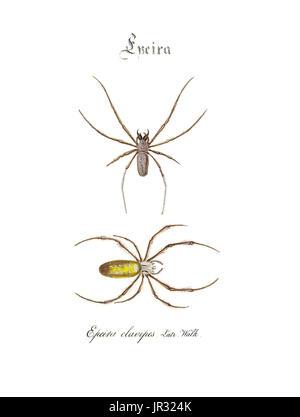 Golden Silk Spiders - Stock Photo