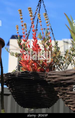 Growing Mesembryanthemum In A Pot Stock Photo Royalty Free Image 112024946 Alamy