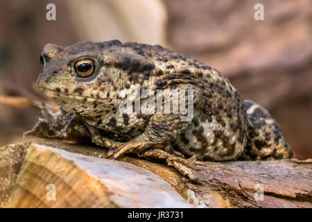 Amphibian, Common British Toad / Frog - Stock Photo