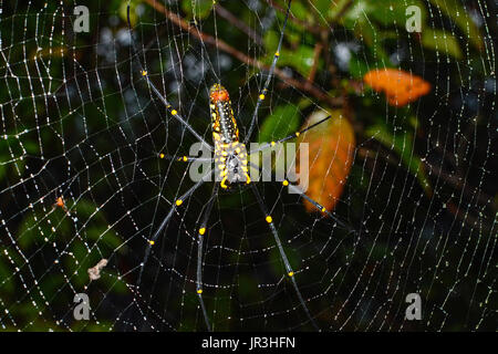 Closeup of female giant golden orb weaver spider hanging on web, scientific name Nephila pilipes - Stock Photo