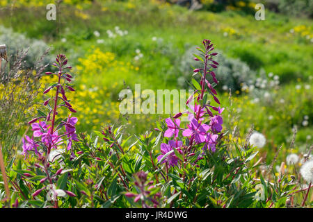 Fireweed or Rosebay Willowherb (Chamerion angustifolium) or (Epilobium angustifolium) flowers growing on open grassland. - Stock Photo