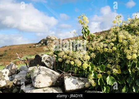 Flowering Ivy (Hedera helix) growing on a country dry- stone wall. Wales, UK, Britain - Stock Photo